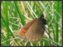 Erebia-epiphron-mountain-ringlet | PTKbutterflies