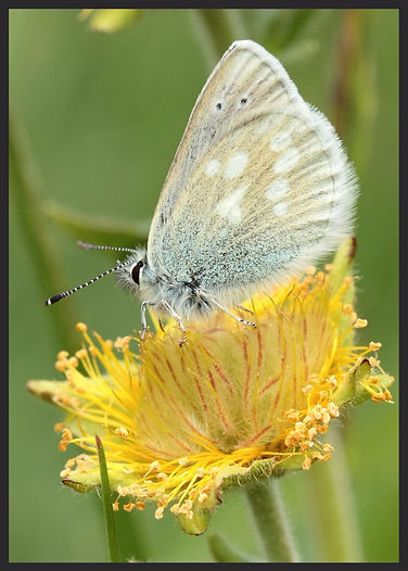 Plebejus-orbitulus-alpine-argus | PTKbutterflies