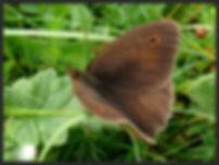 Maniola-jurtina-meadow-brown | PTKbutterflies