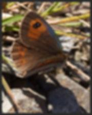 Erebia-rondoui-pyrennean-brassy-ringlet | PTKbutterflies