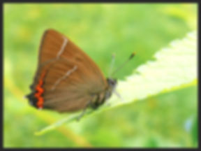 Satyrium-w-album-white-letter-hairstreak | PTKbutterflies