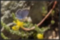 Pseudophilotes-vicrama-eastern-baton-blu | PTKbutterflies