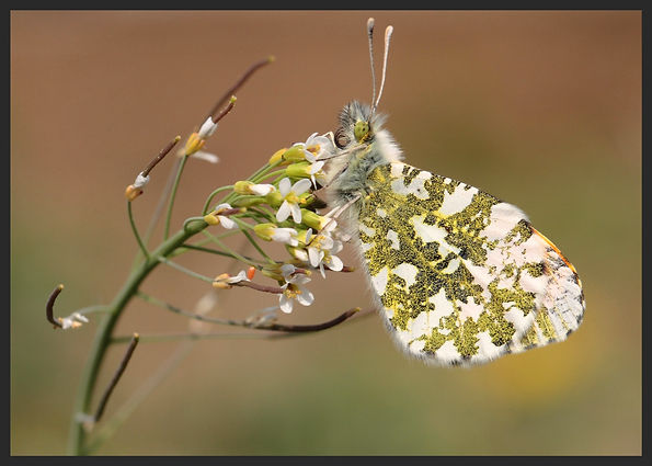 Anthocharis-cardamines-orange-tip | PTKbutterflies