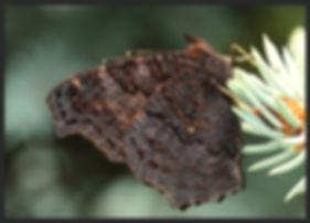 Aglais io Peacock butterfly image