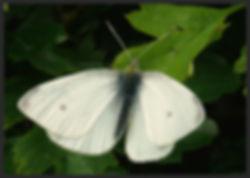 Pieris-rapae-small-white | PTKbutterflies