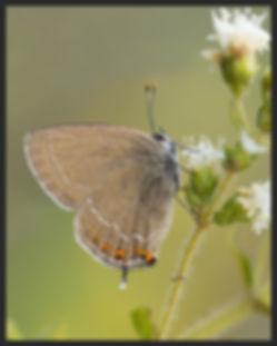 Satyrium-ilicis-ilex-hairstreak | PTKbutterflies