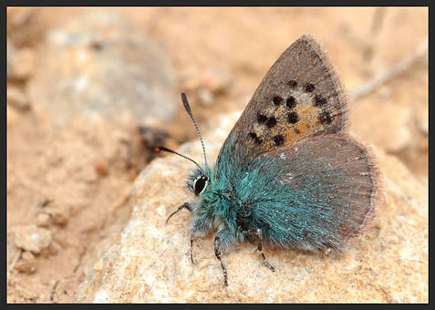 Tomares-ballus-provence-hairstreak | PTKbutterflies