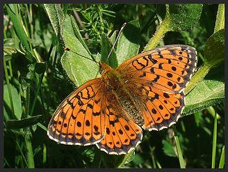 Brethnis-ino-lesser-marbled-fritillary-b | PTKbutterflies