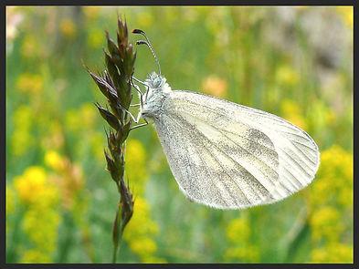 Leptidea-sinapis-wood-white | PTKbutterflies