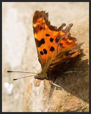 Nymphalis-c-album-comma | PTKbutterflies