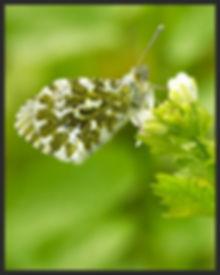 Anthocharis-cardamines-orange-tip   PTKbutterflies