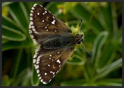 Pyrgus-serratulae---olive-skipper | PTKbutterflies