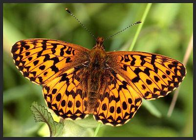 Boloria-titania-titanias-fritillary | PTKbutterflies