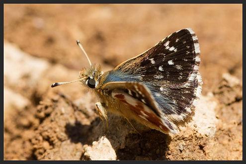 Spialia-sertorius-red-underwing-skipper   PTKbutterflies