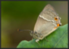 Favonius-quercus-purple-hairstreak | PTKbutterflies