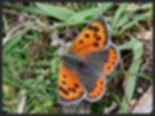 Lycaena-phlaeas-extensa-small-copper | PTKbutterflies