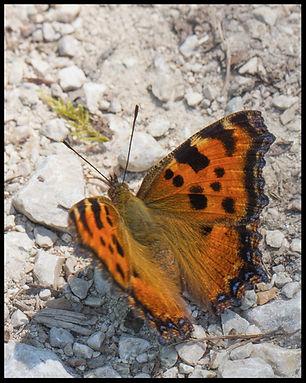 Nymphalis-polychloros-large-tortoiseshel | PTKbutterflies