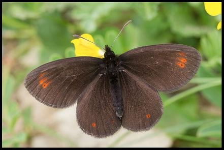 Erebia-oeme-bright-eyed-ringlet | PTKbutterflies