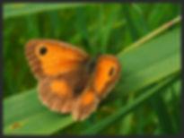 Pyronia-tithonus-the-gatekeeper- | PTKbutterflies