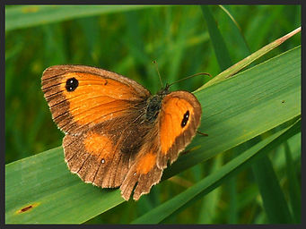 Pyronia-tithonus-the-gatekeeper- | PTKbutterflies