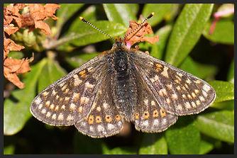 Euphydryas-aurinia-marsh-fritillary | PTKbutterflies