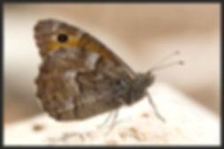 Hipparchia-mersina-samos-grayling   PTKbutterflies