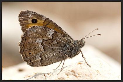 Hipparchia-mersina-samos-grayling | PTKbutterflies