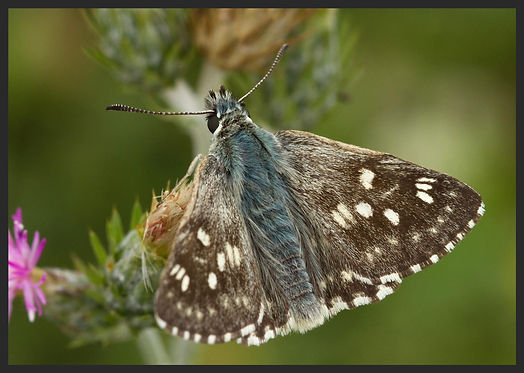 Muschampia-tessellum-tessellated-skipper | PTKbutterflies