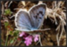 Phengaris-arion-large-blue | PTKbutterflies