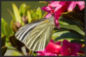 Pieris-bryoniae-mountain-green-veined-wh | PTKbutterflies