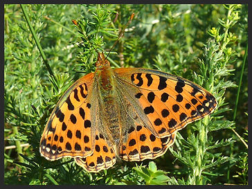 Issoria-lathonia-queen-of-spain-fritillary | PTKbutterflies