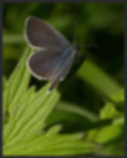 Cupido-minimus-small-blue | PTKbutterflies
