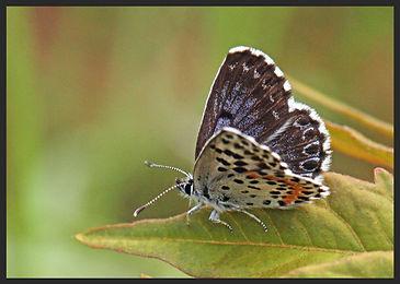 Scolitantides-orion-chequered-blue | PTKbutterflies
