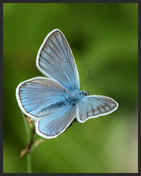 Polyommatus-amandus-amandas-blue | PTKbutterflies