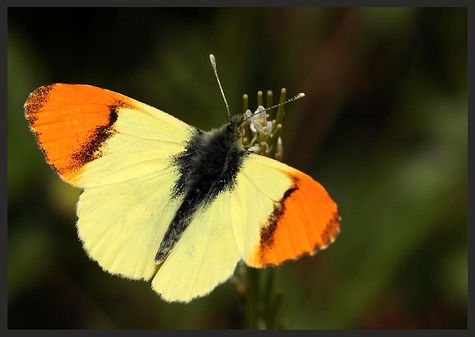 Anthocharis-euphenoides-provence-orange- | PTKbutterflies