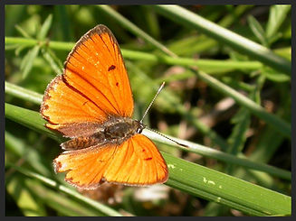 Lycaena-dispar-large-copper | PTKbutterflies