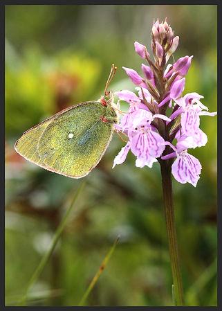 Colias-palaeno-moorland-clouded-yellow | PTKbutterflies