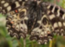 Zerynthia-polyxena-southern-festoon | PTKbutterflies