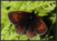 Erebia-manto-yellow-spotted-ringlet- | PTKbutterflies