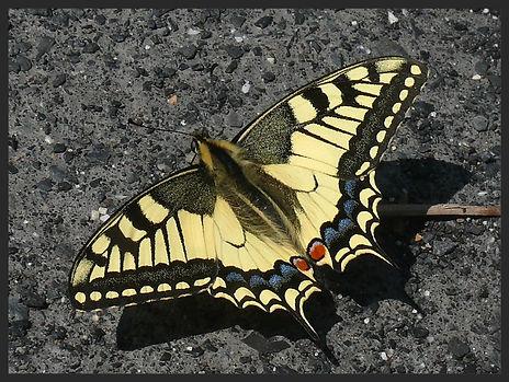 Papilio-machaon-european-swallowtail | PTKbutterflies