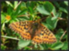 Boloria-aquilonaris-cranberry-fritillary | PTKbutterflies