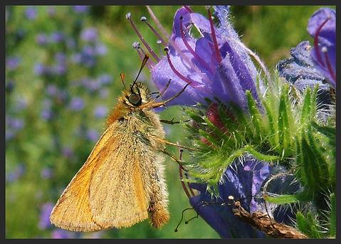 Thymelicus-sylvestris-small-skipper | PTKbutterflies