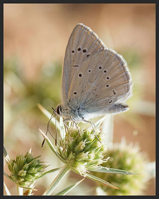 Polyommatus fulgens Forster's Furry Blue | PTKbutterflies
