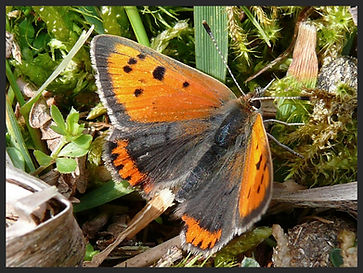 Lycaena-phlaeas-obliterata-small-copper | PTKbutterflies