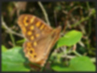 Pararge-aegeria-speckled-wood-butterfly- | PTKbutterflies