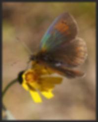 Erebia-tyndarus-swiss-brassy-ringlet- | PTKbutterflies