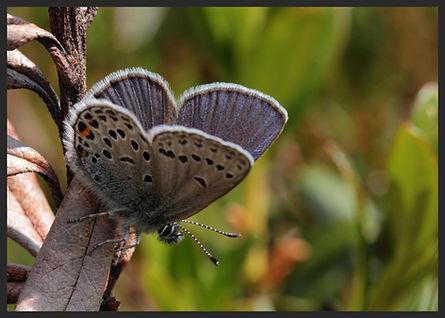 Plebejus-opilete-cranberry-blue | PTKbutterflies