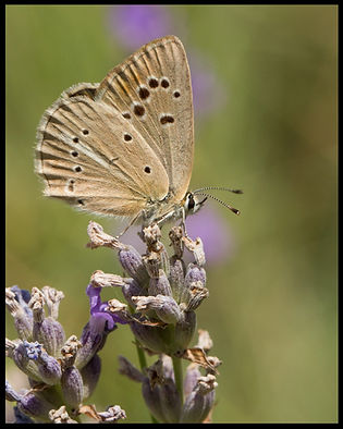 Polyommatus-ripartii-riparts-anomalous- | PTKbutterflies