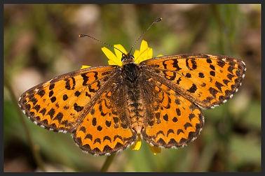 Melitaea-trivia-lesser-spotted-fritillar   PTKbutterflies