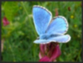 Polyommatus-bellargus-adonis-blue | PTKbutterflies